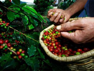 Instituto Biológico abre suas portas para a colheita de café
